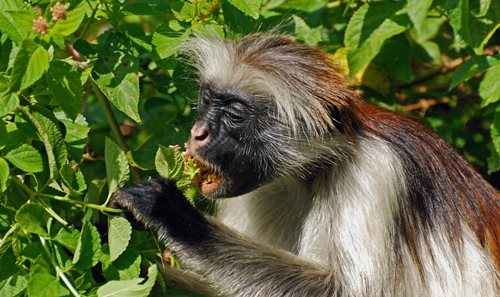 The Zanzibar red colobus monkey